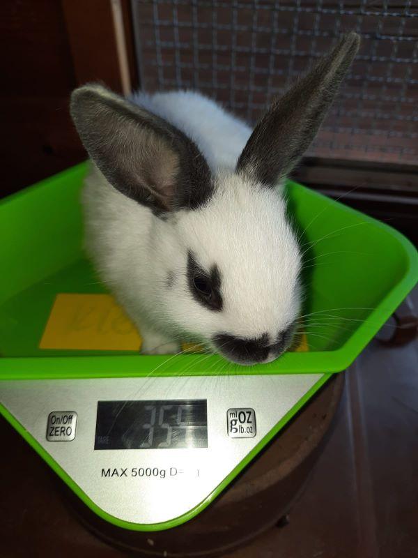 Lavendel Kaninchenbaby