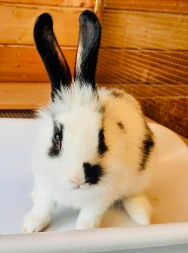 Kaninchen Malve