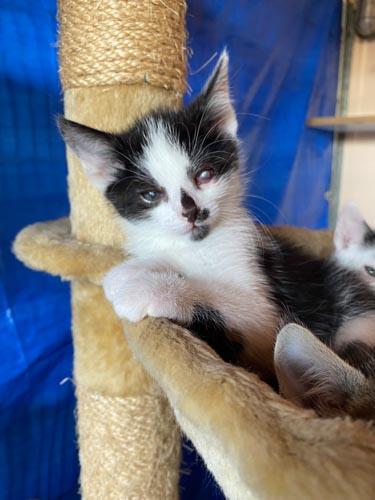 Maddox Kitten-reserviert